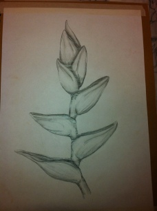 Pencil drawing of the Heliconias plant