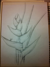 Another variation of the heliconias plant drawn in pencil